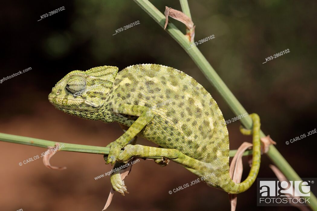 Imagen: Common chameleon ( Chamaeleo chamaeleon ). Parque Nacional de Doñana, Andalusia, Spain.