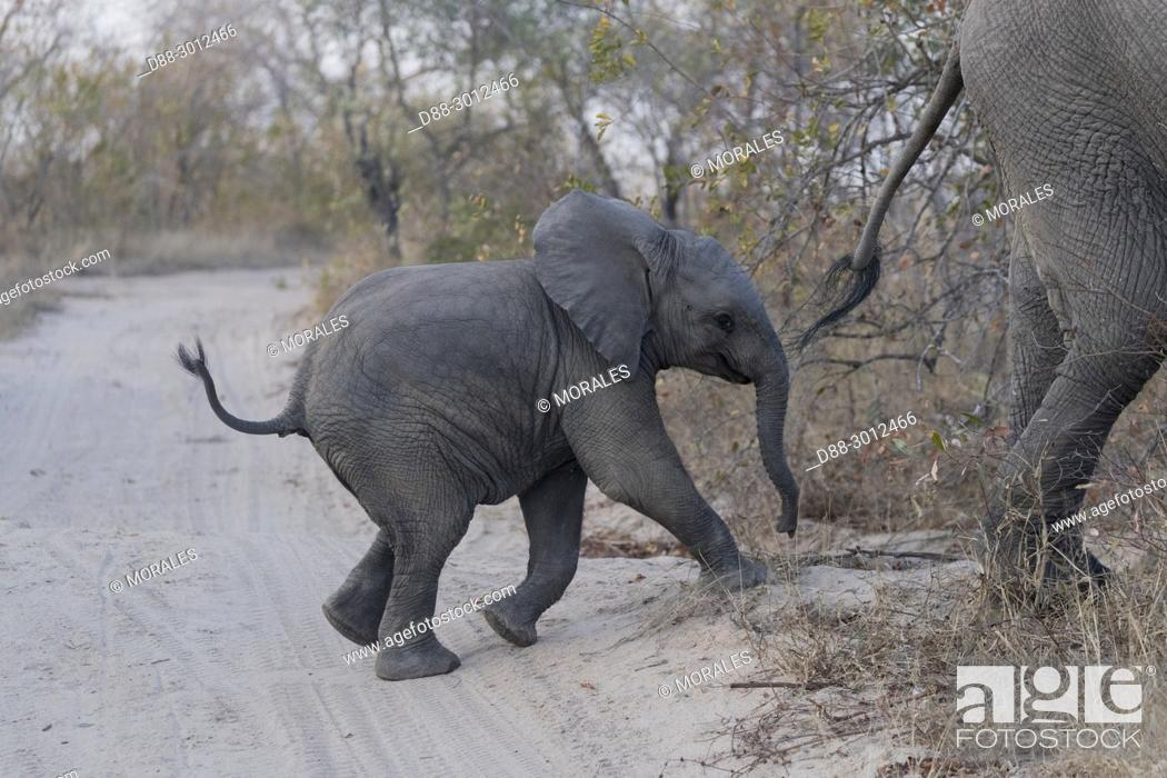 Stock Photo: Africa, Southern Africa, South African Republic, Mala Mala game reserve, . African bush elephant or African savanna elephant (Loxodonta africana), baby.