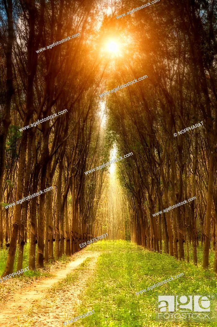 Stock Photo: landscape of rubber trees with sunlight.