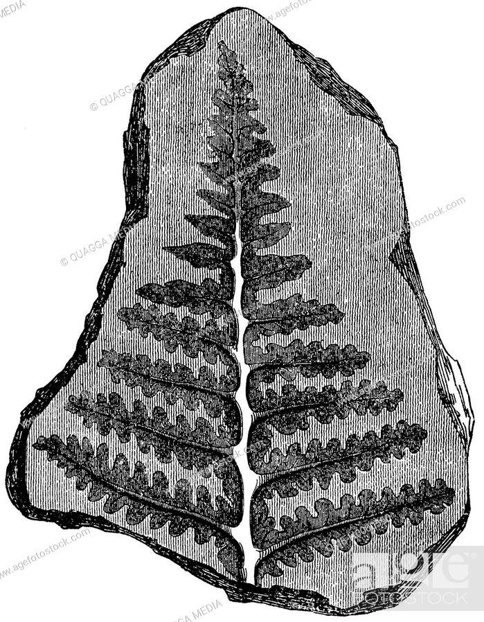 Stock Photo: Fossils: Fossilised fern.