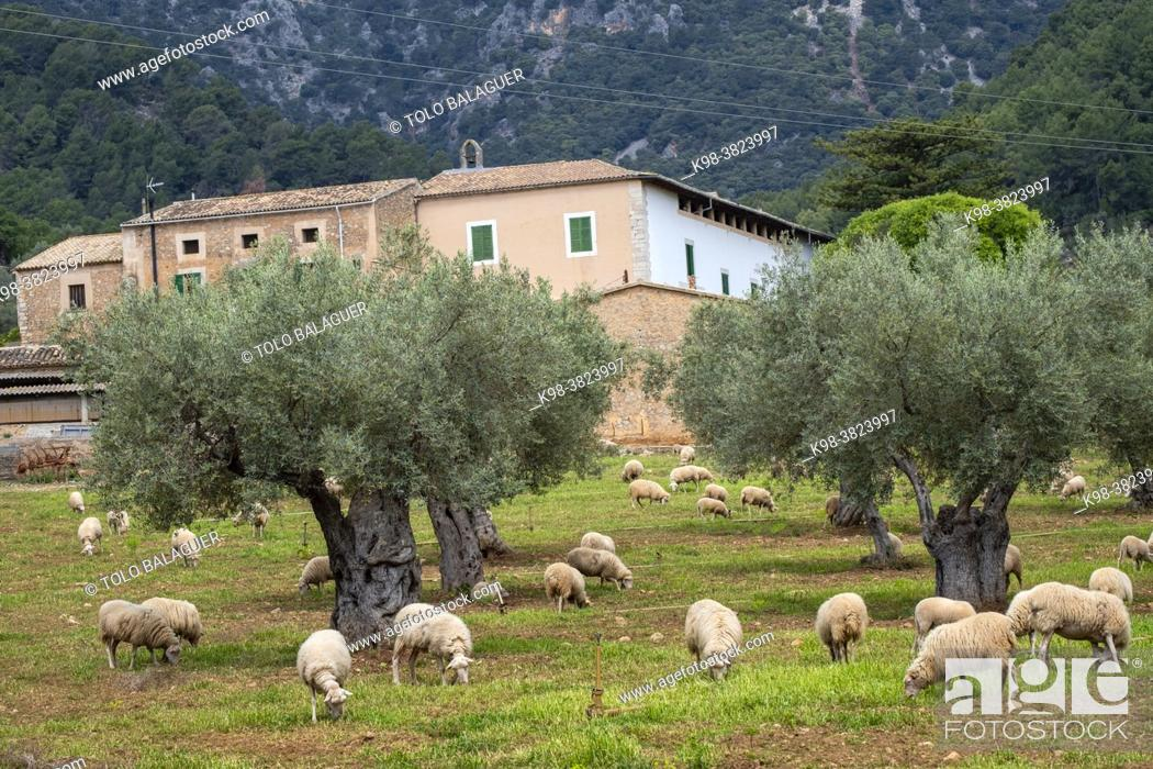 Stock Photo: sheep grazing in front of the Alqueria d'Avall house, Bunyola, Mallorca, Balearic Islands, Spain.