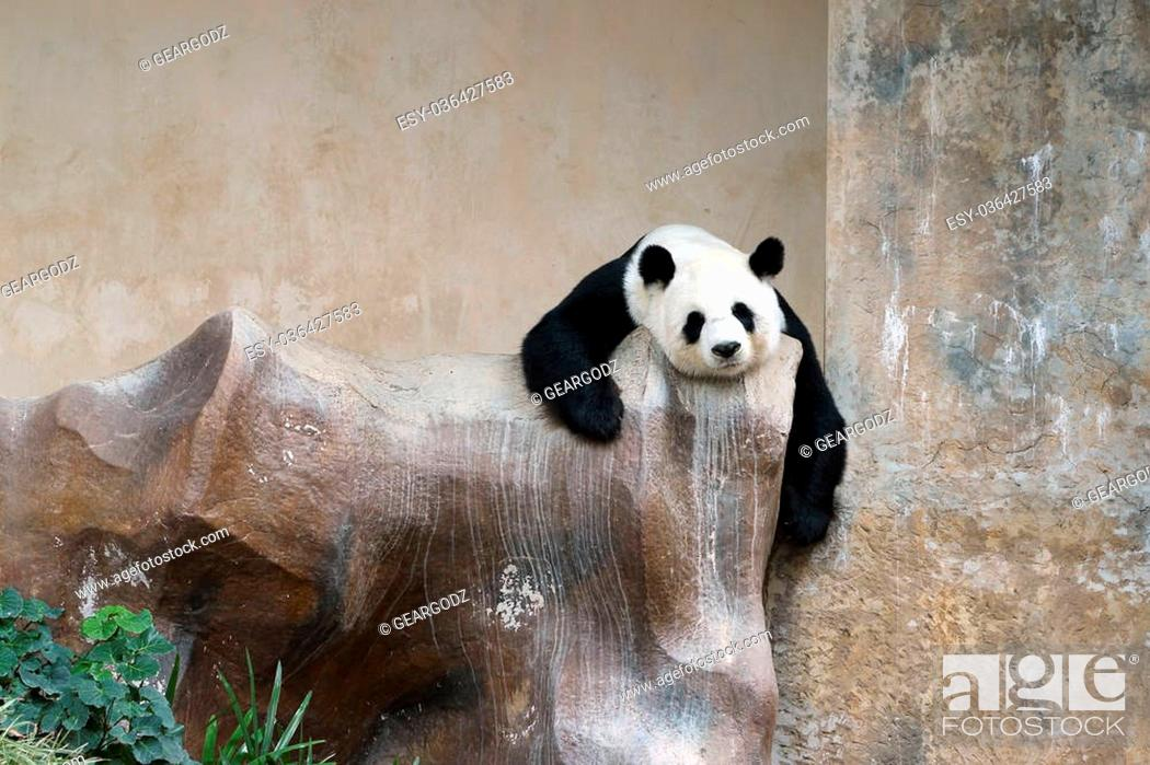 Stock Photo: panda bear resting in the zoo.