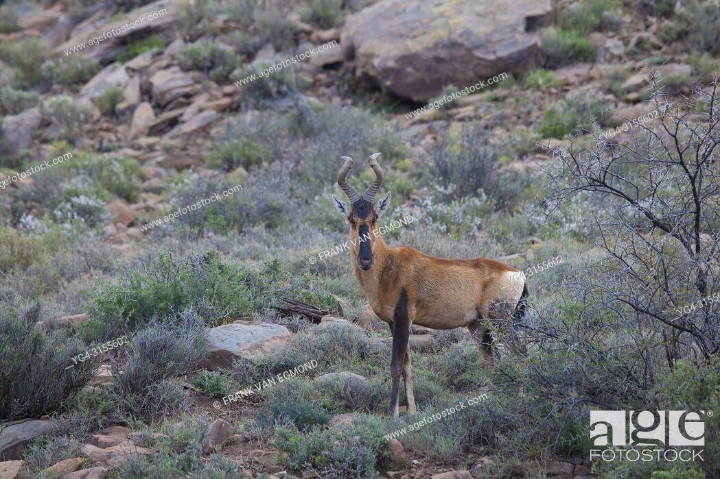 Stock Photo: Tsessebe, Karoo National Park, South Africa.