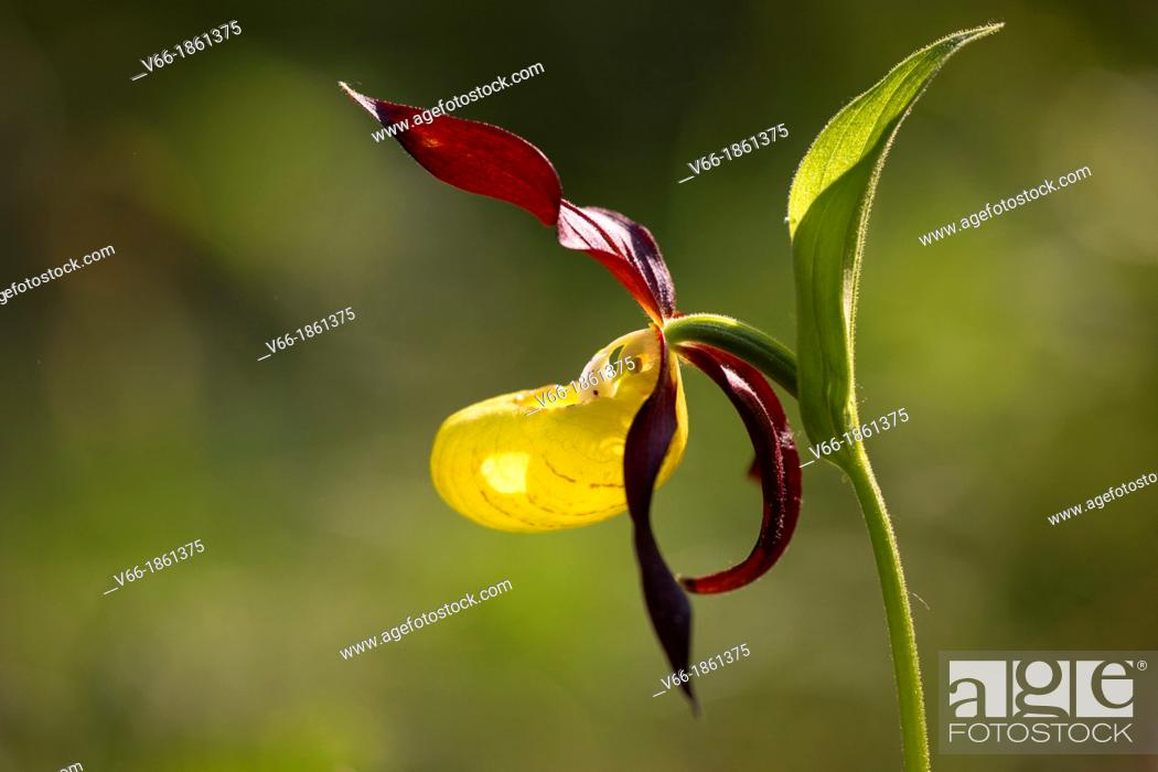 Imagen: Orquidea endangered due to collection escesiva, in Spain can only be found in the priineo Aragones and the Pyrenees Lerida.