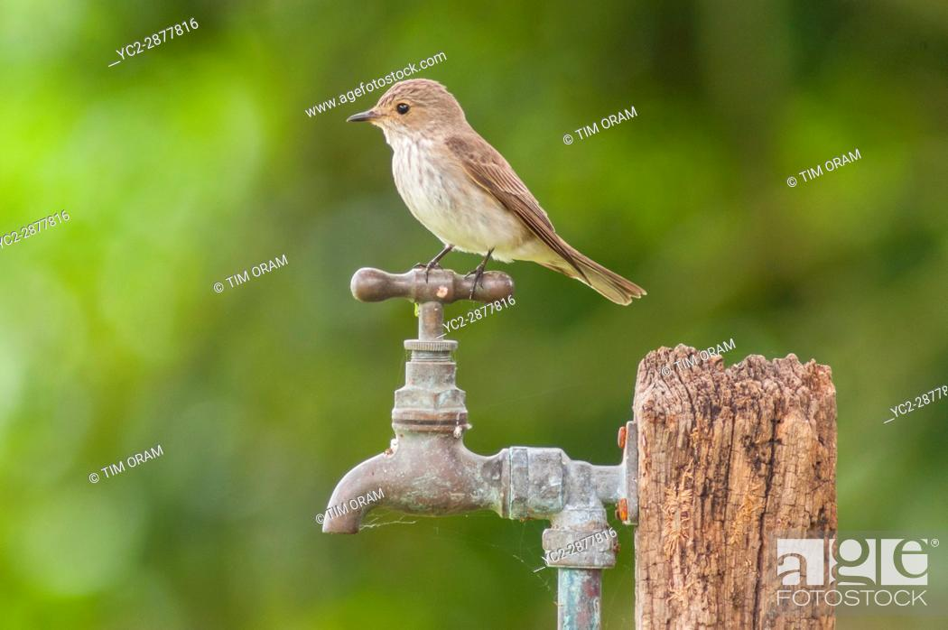 Stock Photo: A Spotted Flycatcher (Muscicapa striata) in the uk.