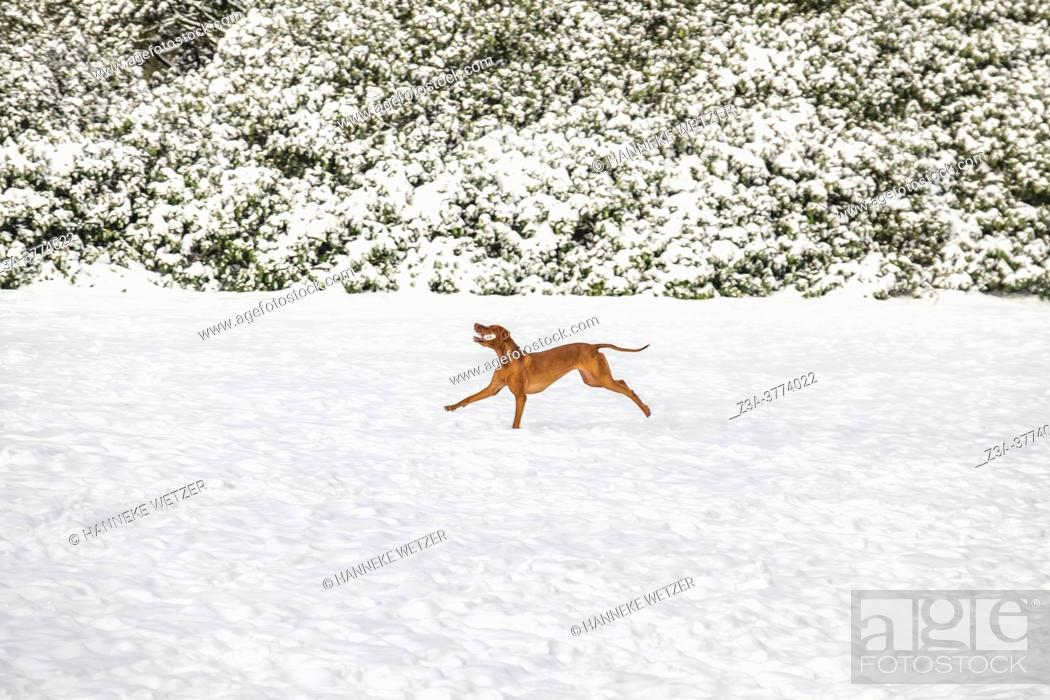 Imagen: Dog running in the snow, The Netherlands, Europe.