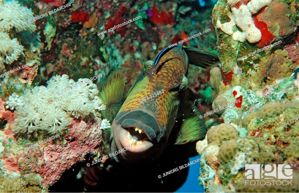 Stock Photo: Moustache trifferfish and cleaner wrasse, Balistoides viridescens, Labroides dimidiatus, Egypt, Shaiab Shouna, Red Sea.