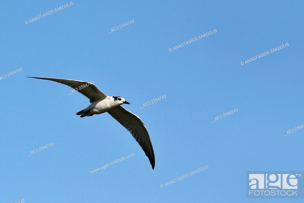 Stock Photo: Whiskered tern - Chlidonias hybridus, Crete.
