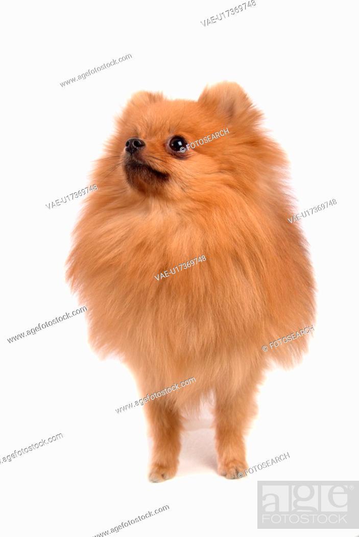 Stock Photo: posed, domestic, pose, house pet, canines, pomeranian.