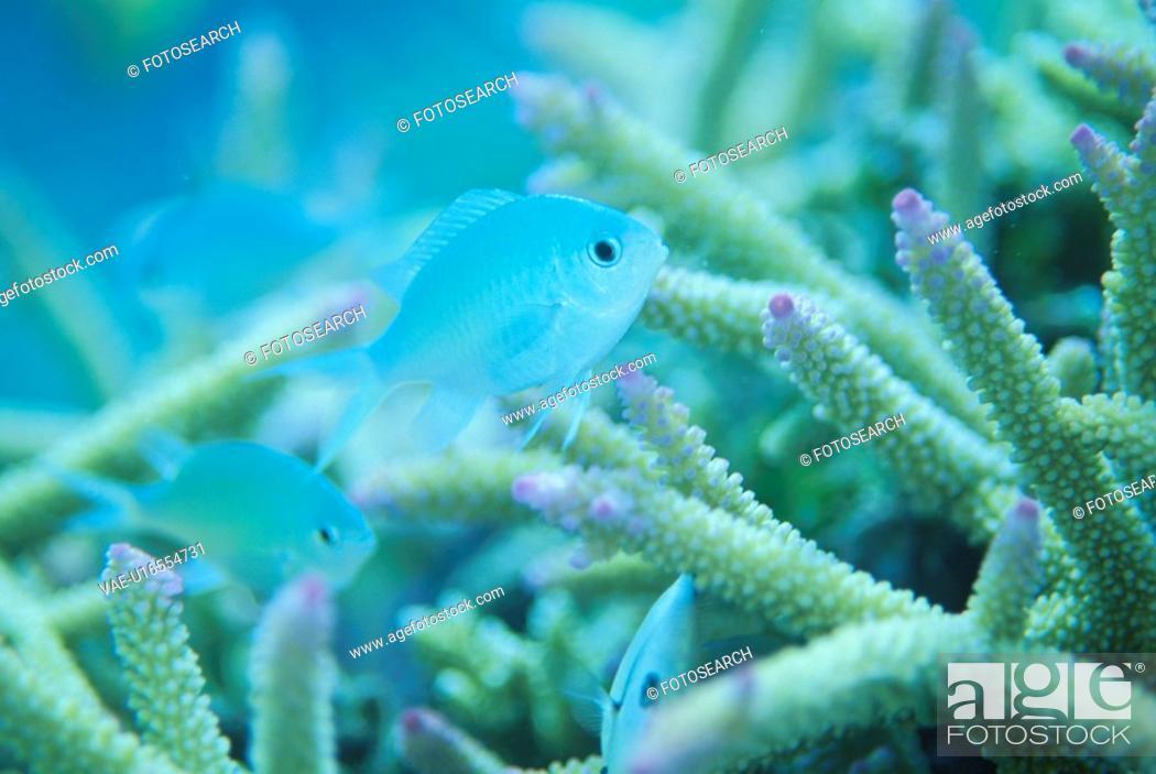 Stock Photo: Coral And Whitesaddled Reeffish.
