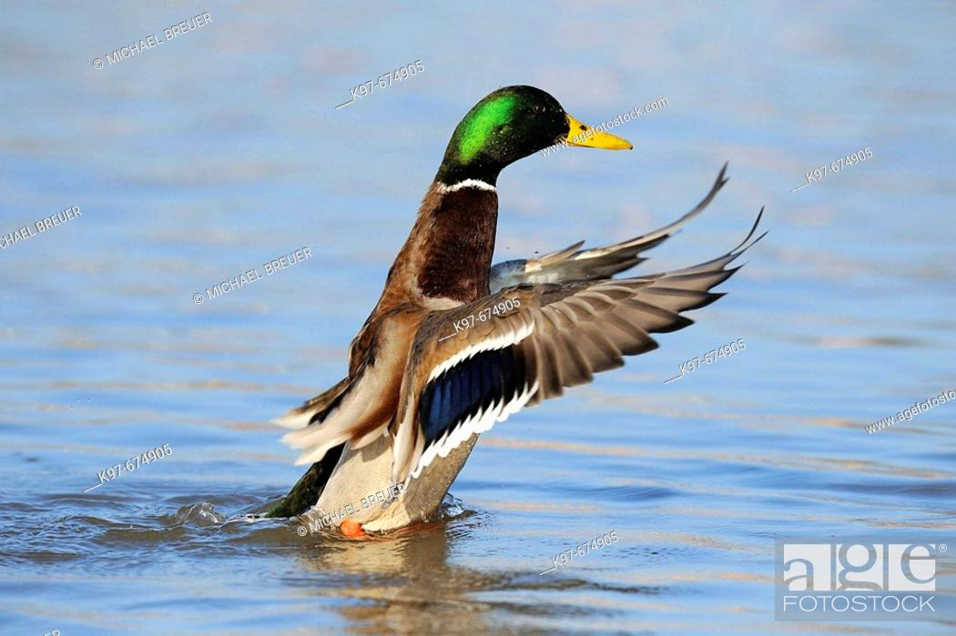 Stock Photo: Mallard, Anas platyrhynchos.