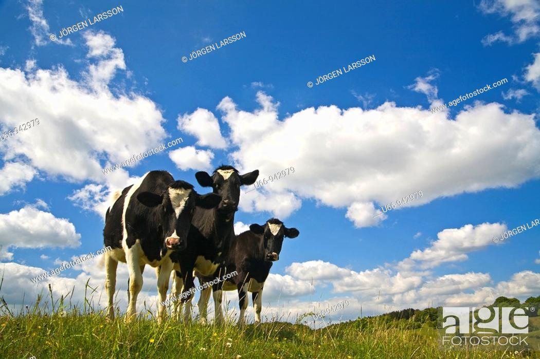 Stock Photo: Cattle, Skåne, Sweden.