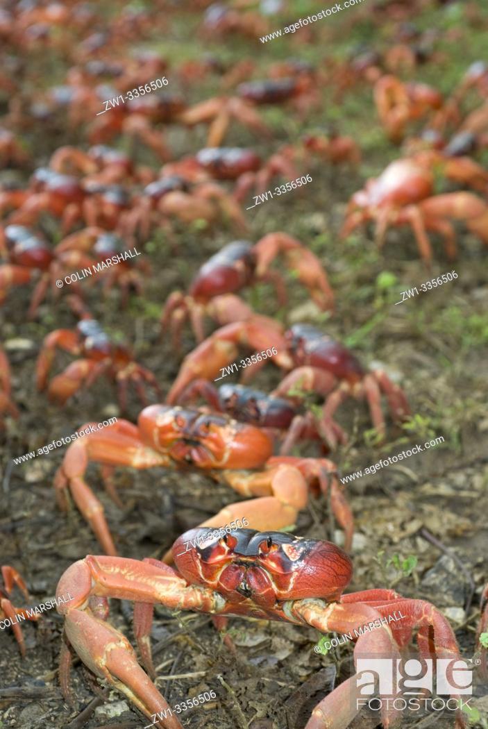 Stock Photo: Cast of Red Crab (Gecarcoidea natalis, Gecarcinidae family) on grass, Christmas Island, Australia.