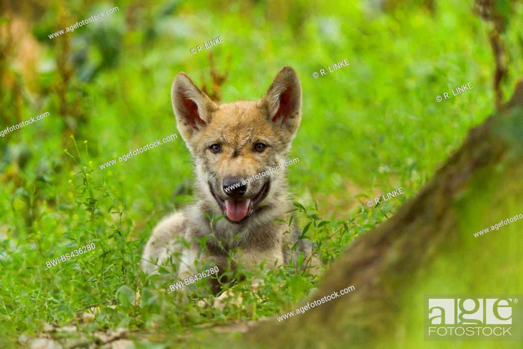 Stock Photo: European gray wolf (Canis lupus lupus), pup resting, Germany.