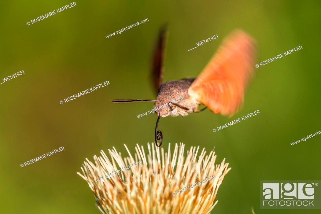 Stock Photo: Germany, Saarland, Niederbexbach, A hummingbird hawkmoth suckles on a flower.