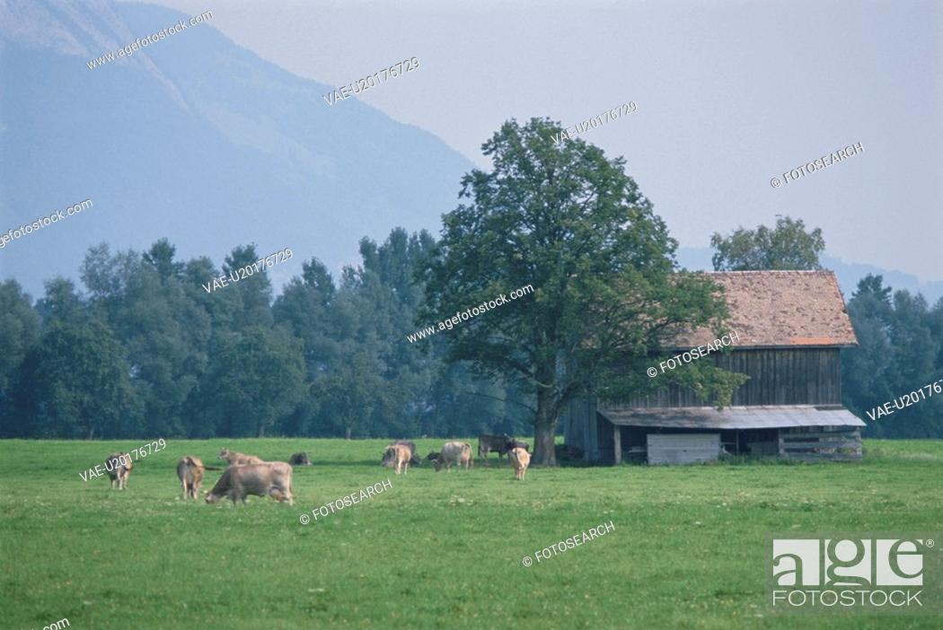 Stock Photo: The Cow And Hut Of A Pasture In Germany.