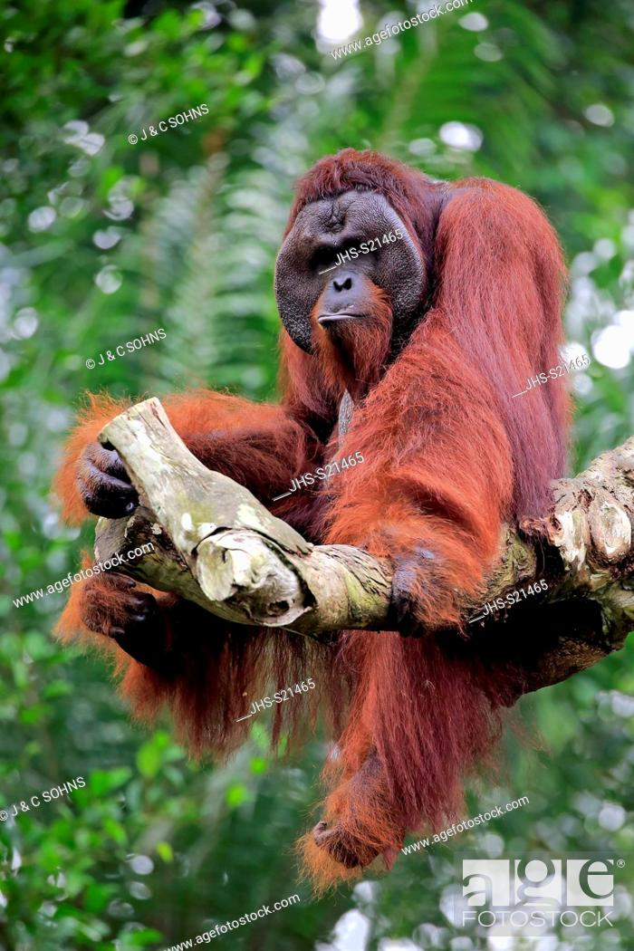 Stock Photo: Orang Utan, Pongo pygmaeus, adult male on tree, captive, Singapore, Southeast Asia.