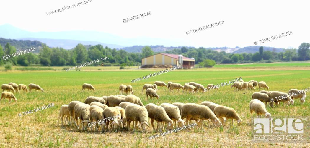Stock Photo: sheep flock grazing meadow in grass field panoramic view.