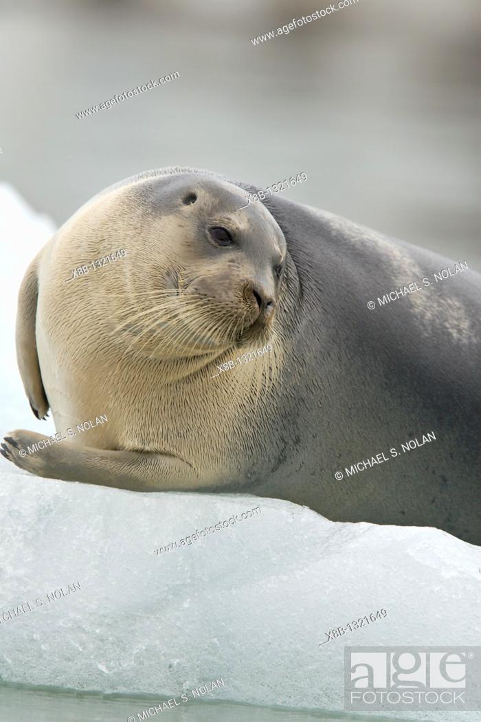 Stock Photo: Bearded seal Erignathus barbatus swimming amongst the ice near Storpollen Glacier in the Svalbard Archipelago, Barents Sea, Norway.