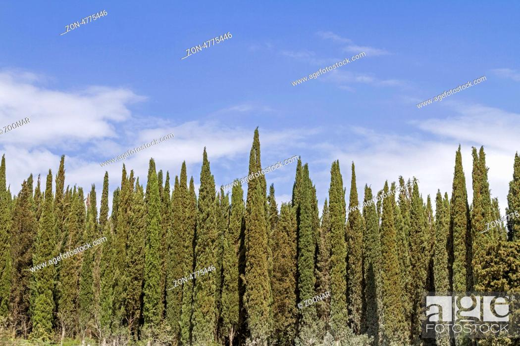 Stock Photo: Cypress forest in Tuscany.
