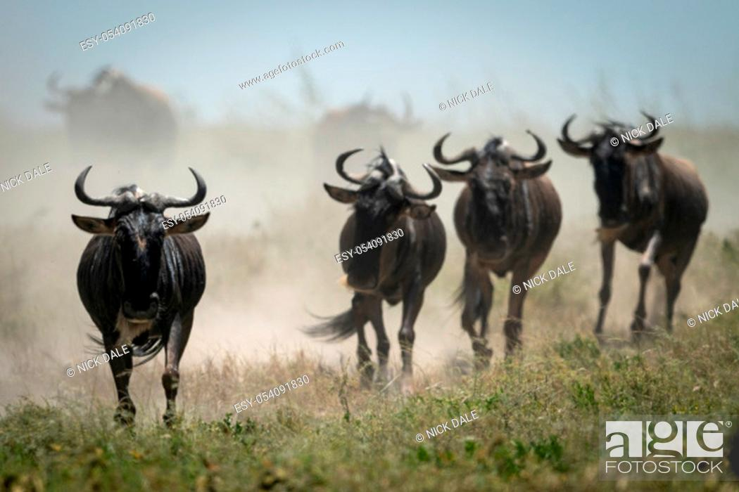 Stock Photo: Four blue wildebeest gallop with others behind.
