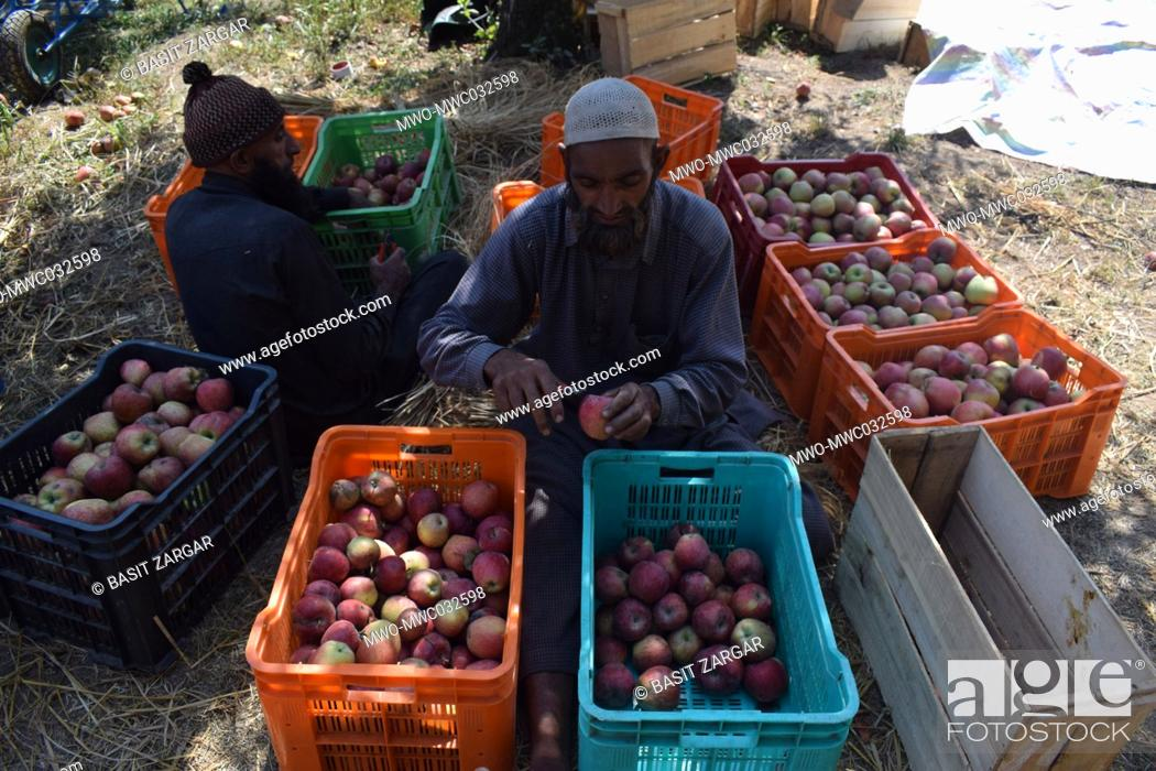 Imagen: People sorting fresh apples at an apple orchard in Shopian, Kashmir, India.