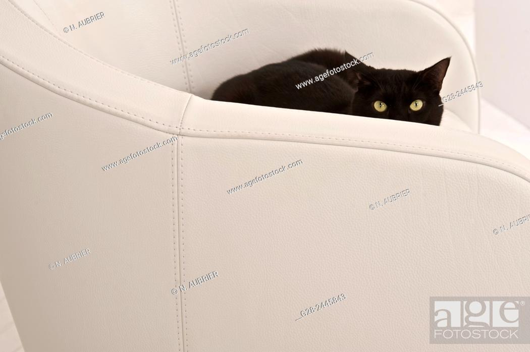 Stock Photo: Black european cat with yellow wide open eyes Half hidden in a white armchair watching intensely.