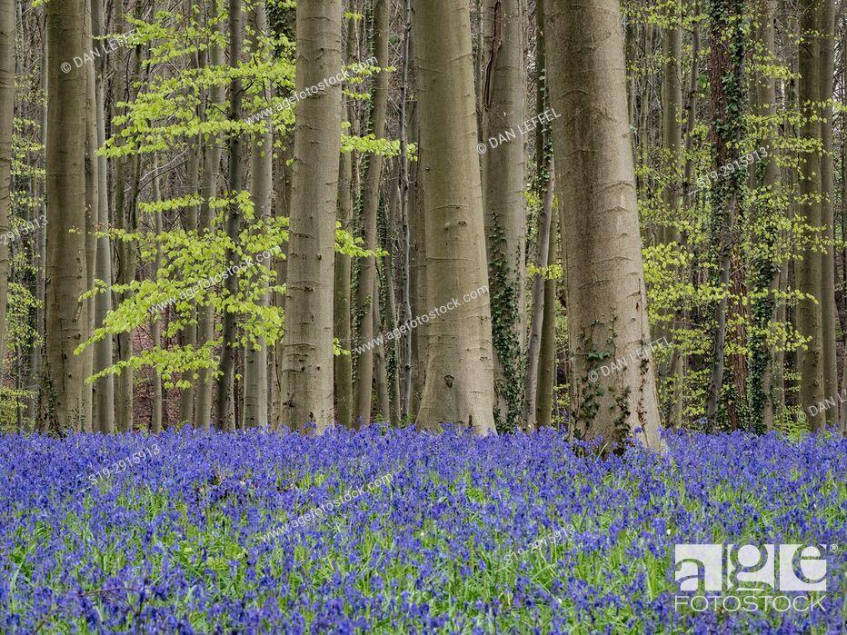 Stock Photo: Belgium Blue Forest.