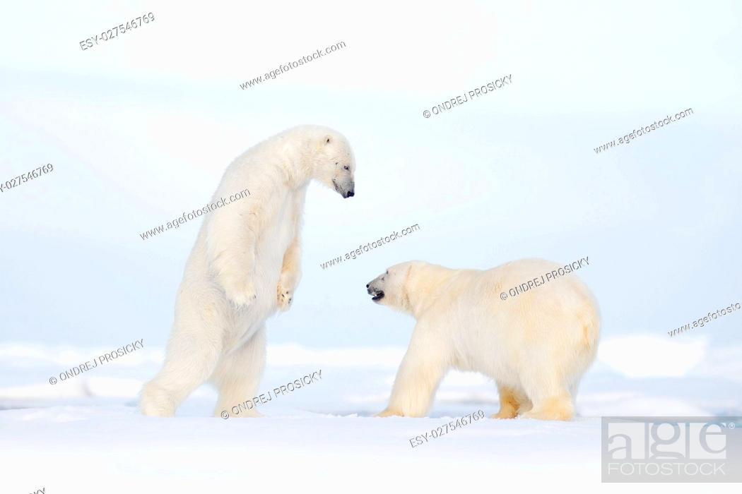Photo de stock: polar bear.