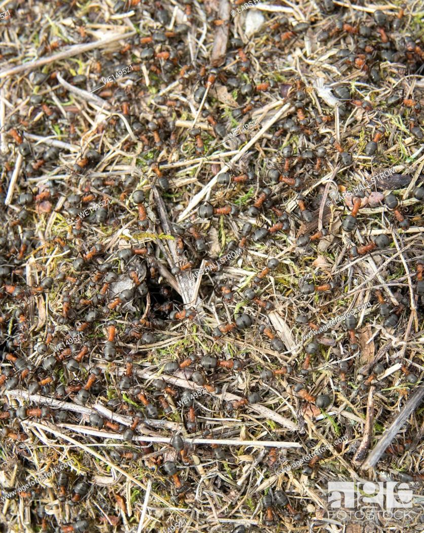 Stock Photo: Ants nest in close up. Ant teamwork.