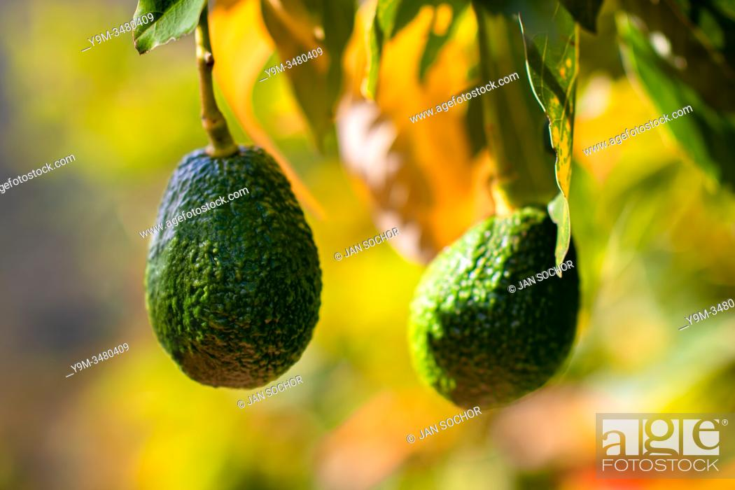 Stock Photo: Avocados are seen growing on a tree at a farm near Sonsón, Antioquia department, Colombia, 16 October 2019. Over the past decade.