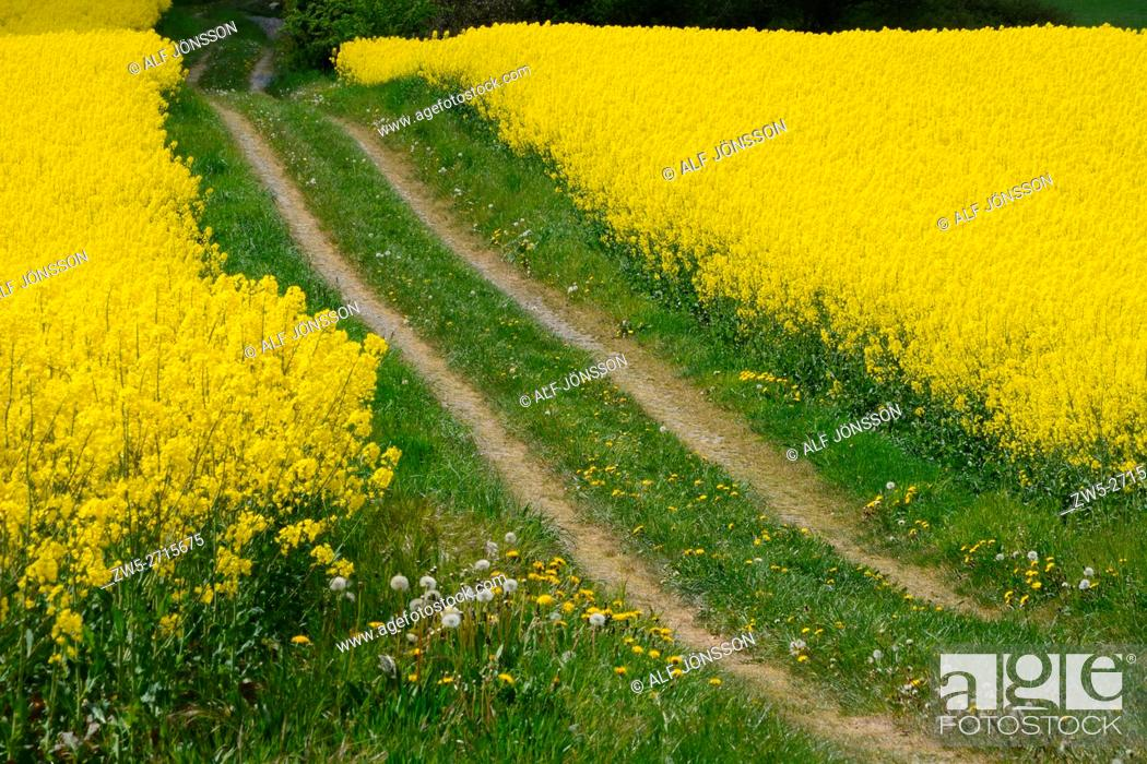 Stock Photo: Tiny country road through fields of rapeseed in Scania, Sweden.