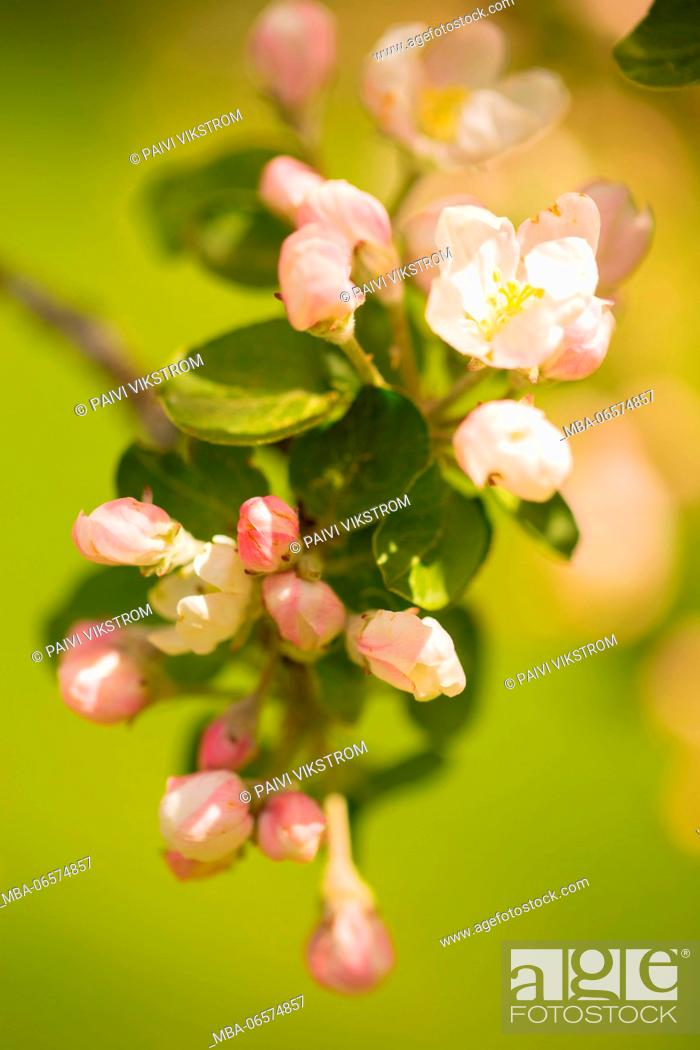Stock Photo: Close-up of apple tree flowers on spring green background.