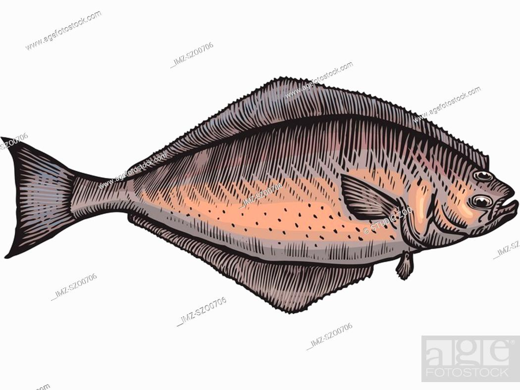 Stock Photo: A drawing of a halibut.