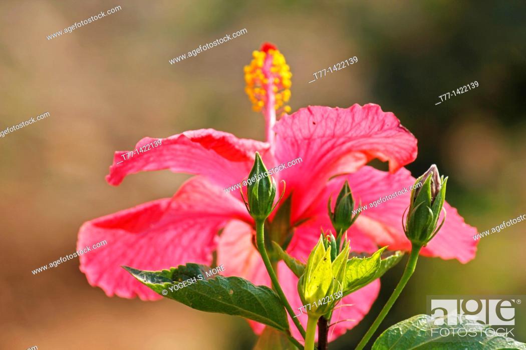 Stock Photo: Hibiscus rosa-sinensis, Pink China Rose, Chinese hibiscus.