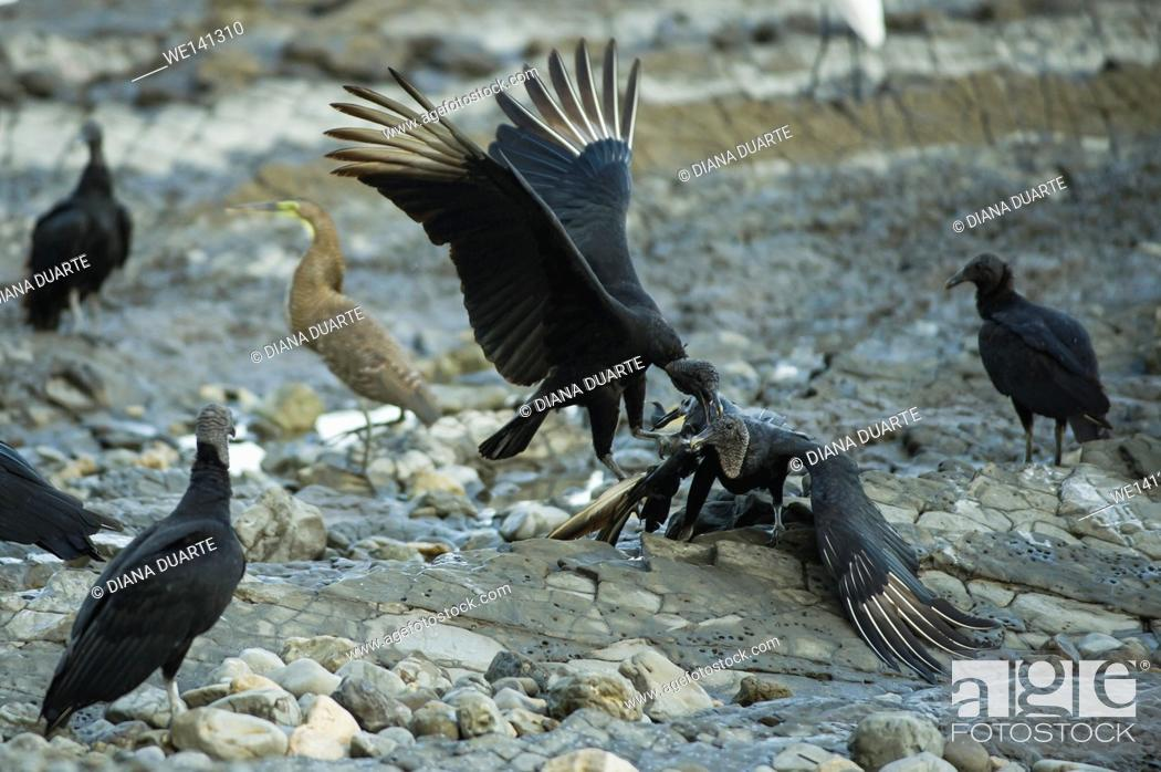"""Stock Photo: """"""""""""""""""""Black Vulture"""""""" (Coragyps atratus), Thereby, a dead body can literally disappear within few days (this process happens a lot faster in the tropics than in."""