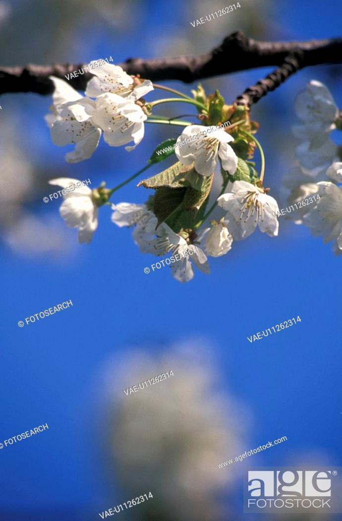 Stock Photo: weinviertel, austria, blue, branch, calf, fruit-tree, kirschbluete.