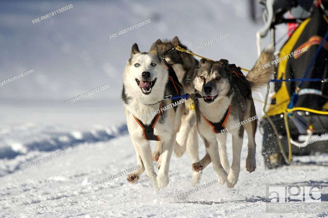 Stock Photo: Dog sledge race.