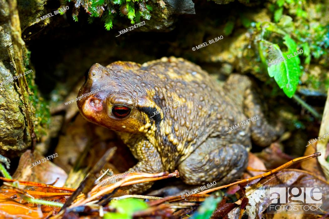 Stock Photo: Commom toad or european toad (Bufo bufo). Irati Forest. Navarre, Spain. Europe.