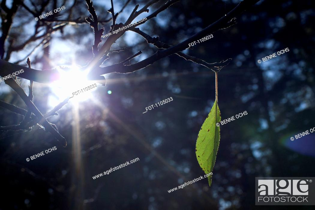 Stock Photo: A single leaf growing on a branch.