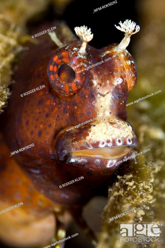 Stock Photo: Blenny Portrait, Cirripectes sp., Lembeh Strait Sulawesi Celebes, Indonesia.