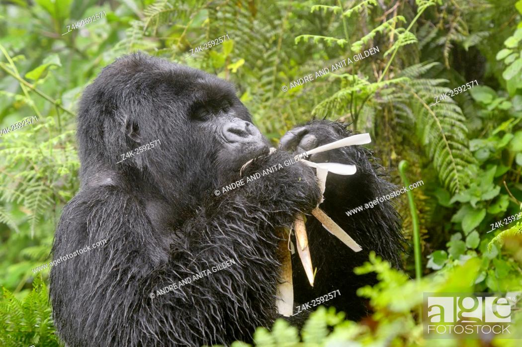 Stock Photo: Mountain Gorilla (Gorilla gorilla beringei) large silverback male Agasha from the Agasha group thick vegetation and rain, eating bamboo, Volcanoes national park.