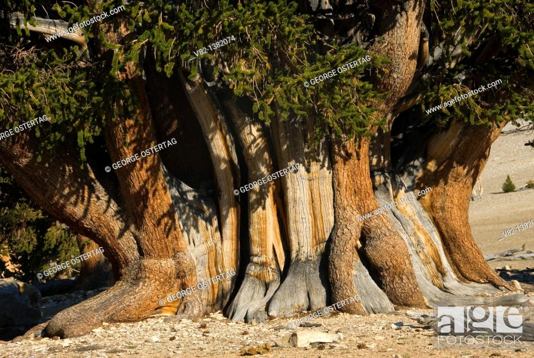 Stock Photo: Patriarch Tree, Ancient Bristlecone Pine Forest, Ancient Bristlecone National Scenic Byway, Inyo National Forest, California.