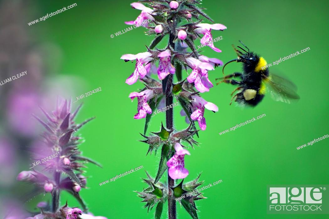 Stock Photo: A foraging Common Bumble bee Bombus terrestris, County Westmeath, Ireland.