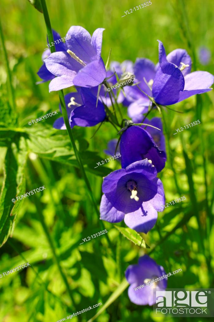 Stock Photo: Alpine Harebell  Campanula Rotundiflora  - Bernese Alps, Switzerland.