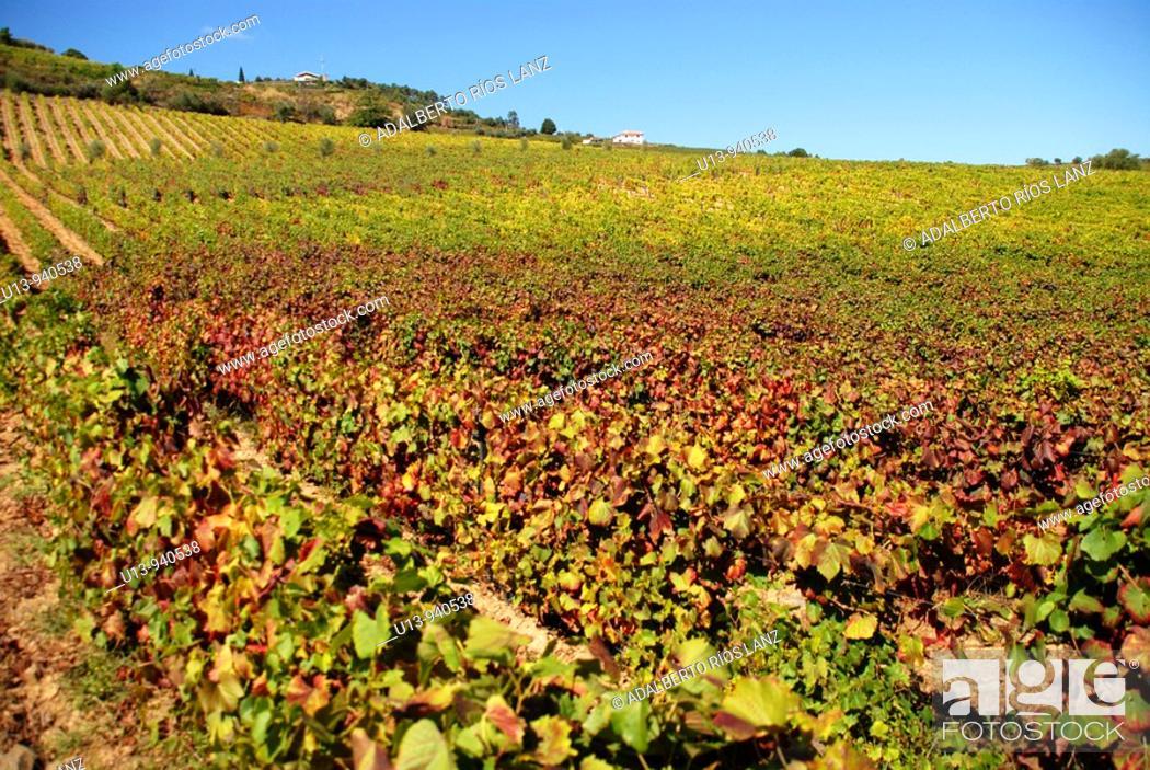 Stock Photo: Vineyard, Douro river valley, Pinheiro, Portugal.