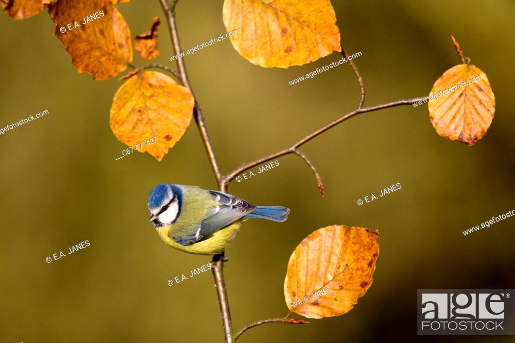 Stock Photo: Blue Tit (Parus caeruleus), autumn.