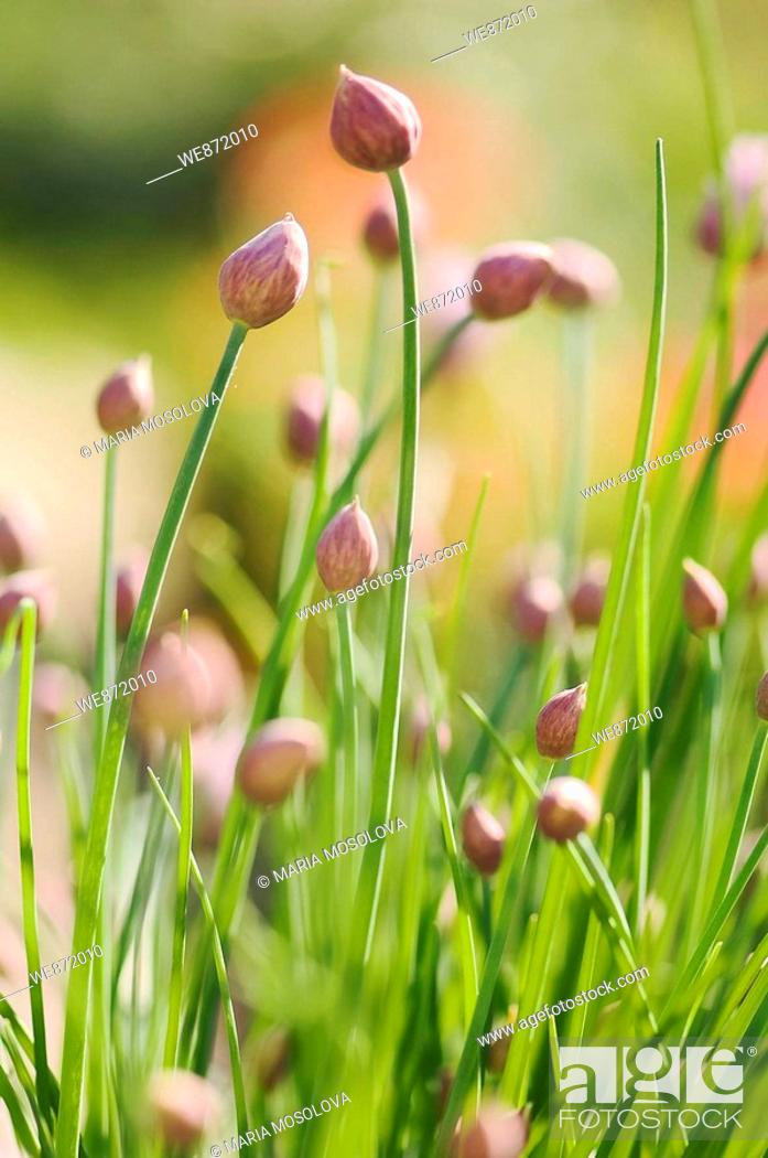 Stock Photo: Kitchen Garden Patch of Chives Onions in Bud.