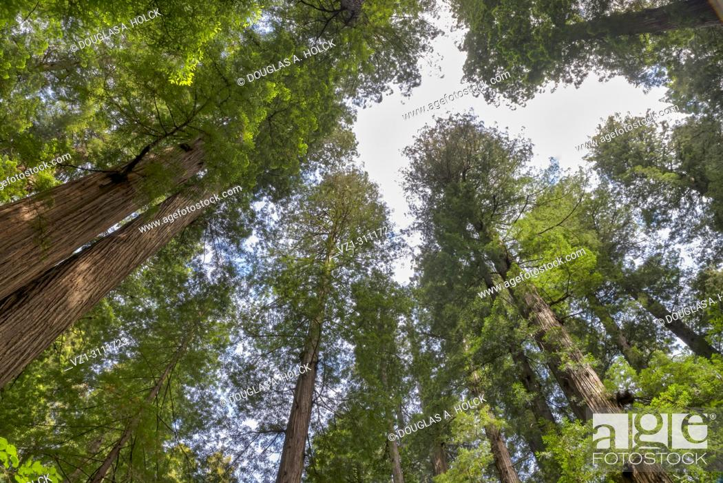 Imagen: The world's tallest trees, Sequoia sempervirens, tower create a canopy in the forest of Jediah Smith Redwoods State Park, Northern California, USA.