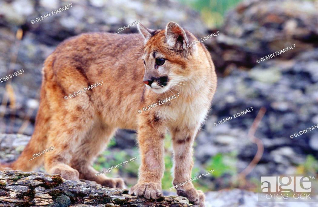 Stock Photo: 7 month mountain lion kitten (Puma concolor). Kalispell. Montana. USA.